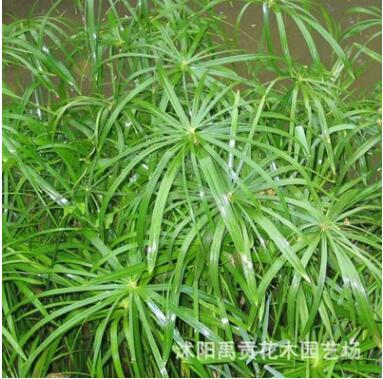 批发水生植物 旱伞草 盆栽植物 水体净化植物风车草 别名(水竹)