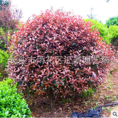 批发供应5-12 红叶石楠 火焰红石楠小树批发基地规格齐全价格低廉