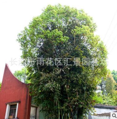 直供凤尾竹小钢竹 观赏类绿植苗木凤尾竹 价格便宜 观赏竹绿植
