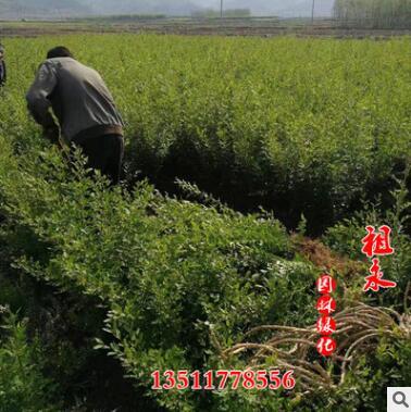 产地批发优质水腊树苗 小区 工程园林绿化植物水腊小苗