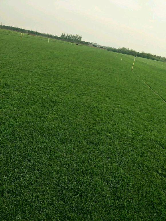 邢台、邯郸地区低价出售优质草坪