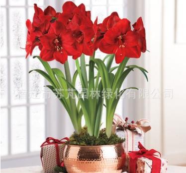 批发荷兰朱顶红大种球根盆栽植物盆栽花卉原生重瓣植物种子