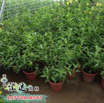 产地批发盆栽花卉夜来香 浓香驱蚊植物室内外种植观花绿植
