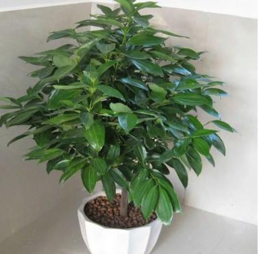 批发室内盆栽花卉 幸福树 平安树盆栽盆景 绿植品种齐全 量大从优