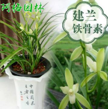 兰花苗铁骨素银针素心建兰兰花苗盆栽植物花卉创意绿植