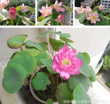 批发碗莲种子 睡莲种子 荷花种子 水生花卉植物 水培植物量大优惠