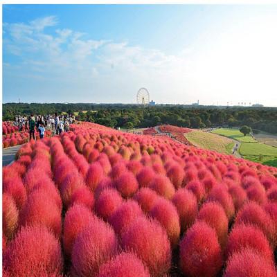 厂家直销红叶地肤种籽绿化景观花海量大优惠品种齐全可以货到付款