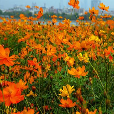 厂家直销优质草本花卉硫华菊种籽阳台花坛绿化品种齐全量大优惠