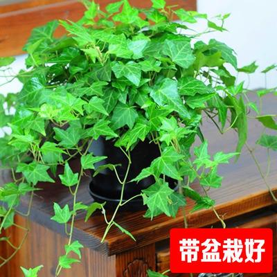 常春藤长青藤绿植盆栽办公室内桌花卉盆栽吸收苯甲醛净化空气植物