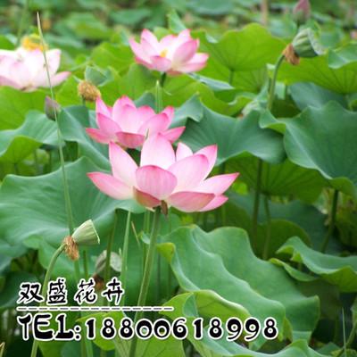 水培植物 水生水养水培花卉植物 荷花碗莲种藕碗栽碗莲种藕