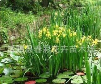 苗圃供应各种菖蒲。黄菖蒲 (石菖蒲、水菖蒲、花叶菖蒲)