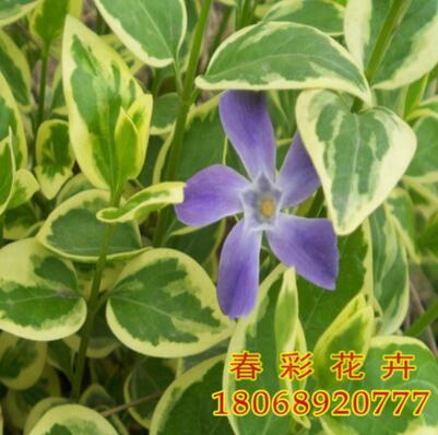 供应花叶蔓长春花苗木 长春蔓 各种攀援植物销售 欢迎来电咨询