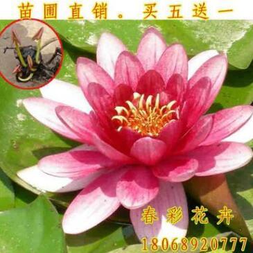 睡莲批发 水生花卉 玛珊姑娘 水生植物睡莲销售 睡莲根块量大优惠