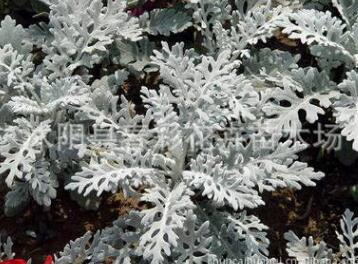 厂家直销 水生植物 银叶菊 量大优惠 价格从优