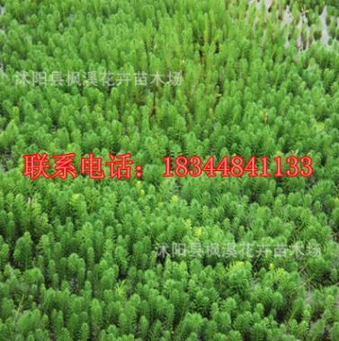 水生植物 粉绿狐尾藻 狐尾藻 水体净化 沉水植物 水草苗