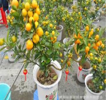 批发 盆景盆栽 花卉 橘子盆栽 青橘子盆栽 品种齐全