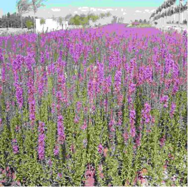 供应优质水生植物 千屈菜 千屈草 价格低廉 净化水质