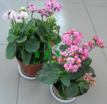 室内绿植 长寿花重瓣苗 长寿花苗 长寿花盆栽 多肉植物 防辐射