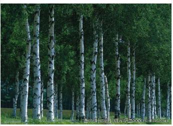 供应绿化桑树苗200000 棵