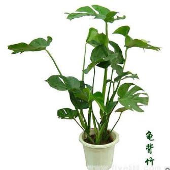 供应10-20公分龟背竹
