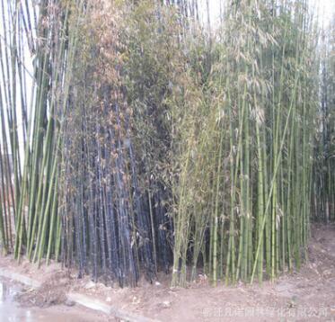 批发绿化苗耐寒性强 对土要求不严 直径1-5cm早园竹 喜光耐阴