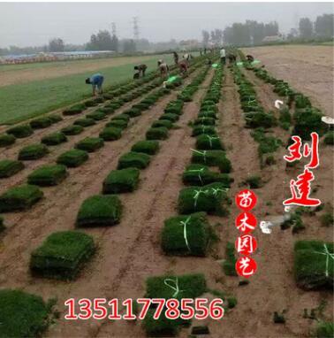 天堂草坪 百慕大草皮 工程绿化草坪 南京草坪 百慕大草坪