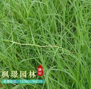 批发狗牙根草坪(包衣)不长高 球场用耐践踏草坪 草皮
