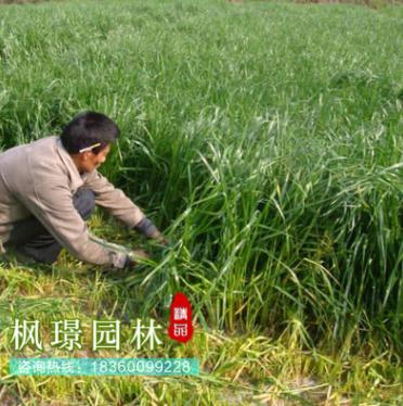 【多年生】【黑麦草】【型】【冬季】黑麦草