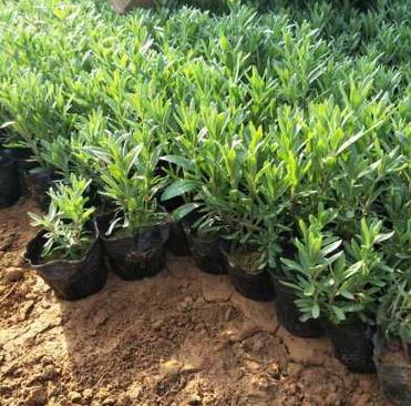 基地长期供应薰衣草 花海制作宿根花卉质量保证盆栽杯苗