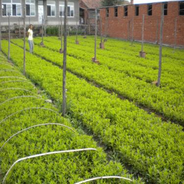 苗圃绿化苗木地被植物红王子锦带五色海棠海仙花批发规格齐全