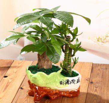发财树富贵竹节节高组合办公室桌面小盆栽绿植园艺