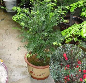盆栽红豆杉花种子曼地亚红豆杉红豆杉苗花种子园艺绿化花木盆栽