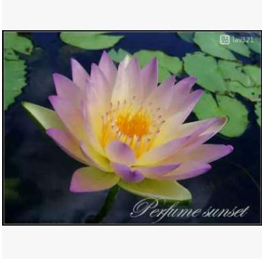 中型热带睡莲:热带落日 N.'Tropic Sunset' 侧株