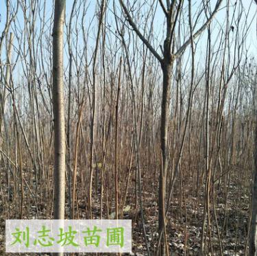 基地直销火炬树苗 根系发达 优质火炬树苗价格 苗源充足