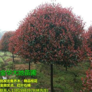 大地苗圃基地口碑好(图)、1.5米红叶石楠多少钱、红叶石楠