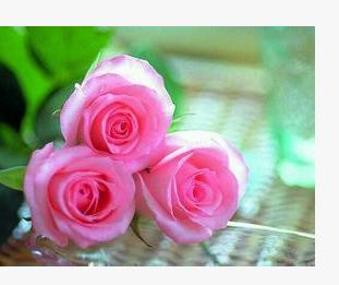基地直接供货花卉种苗鲜花苗木可盆栽工程绿化苏醒瑰花种苗