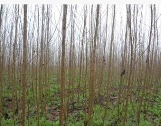 大量批发造林优质绿化工程用高规格苗木-速生杨—丹红杨