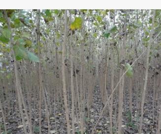 丹红杨 荒山造林 速生杨苗木 苗木批发 园林植物