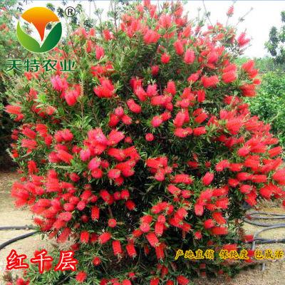 耐寒多花 红千层树 易成活 花期长 红艳美丽
