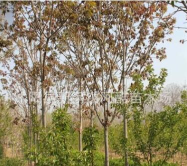 基地供应菩提榕树 绿化工程植物风景树苗常绿乔木 多规格批发