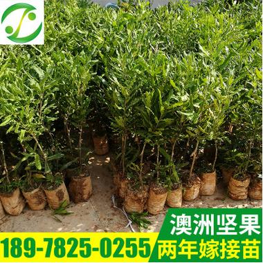 澳洲坚果树苗 果树新品种 夏威夷果树苗批发 种植基地产品直销