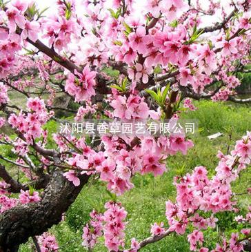 家有桃花树 观赏桃花树苗 农家乐 景区 路道 公园种植桃花树苗