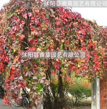 五叶地锦爬山虎苗|攀缘植物|爬山虎小苗秋季变色爬墙植物
