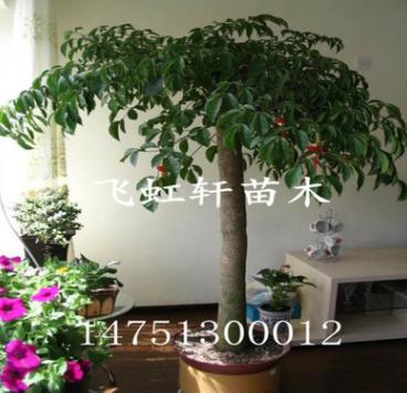 大幸福树 大型植物平安树 绿宝观叶盆景幸福树 客厅办公室盆栽