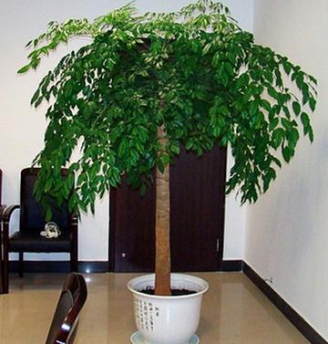 室内大幸福树平安树大型植物客厅办公室盆栽绿宝观叶盆景幸福树