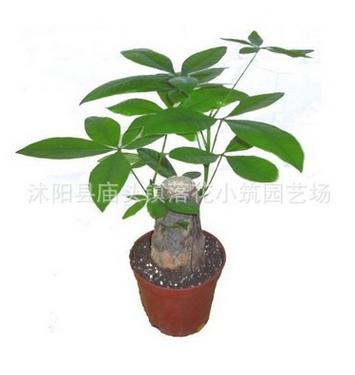 批发绿色植物小发财树盆栽 室内净化空气防辐射四季常青发财树