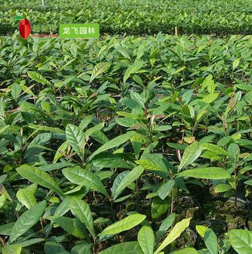 神秘果树 3年苗蜜拉圣果变味果盆栽批发供应龙飞专业种植神秘果苗