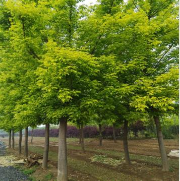 3-10公分金叶复叶槭批发 规格齐全 树形漂亮 品质优 鄢陵县永博花卉苗圃直销 量大从优