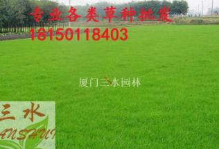狗牙根百喜草大量供应包衣狗牙根草籽 耐踏型护坡草坪种子 绿化草种批发