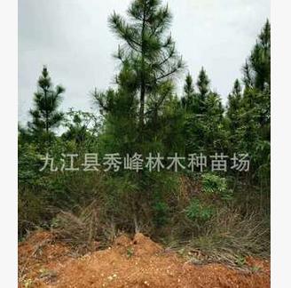 批发供应9公分湿地松 12公分湿地松15公分湿地松 湿地松树
